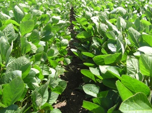 row%20soybean%20canopy2